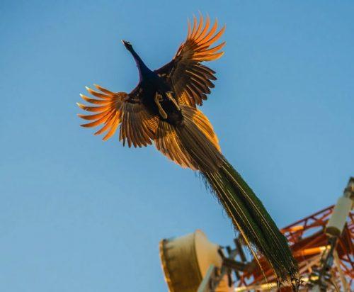 oiseau-paons-plein-vol-volant-7