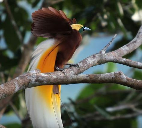 oiseau nouvelle guinée